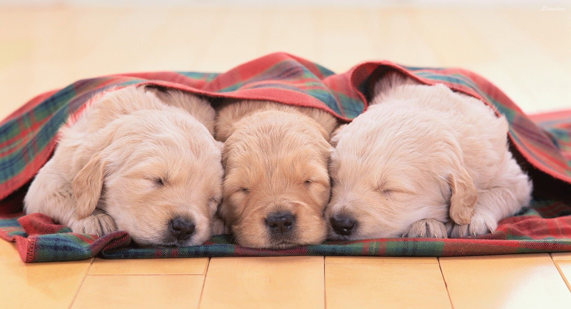 Three puppies napping under a blanket